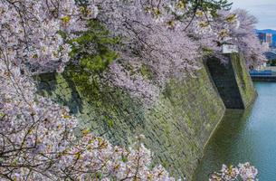 福井城跡の堀とソメイヨシノの写真素材 [FYI04577481]
