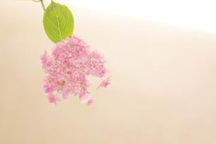 紫陽花 花写真素材の写真素材 [FYI04577912]