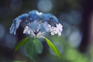 紫陽花 花写真素材の写真素材 [FYI04577913]