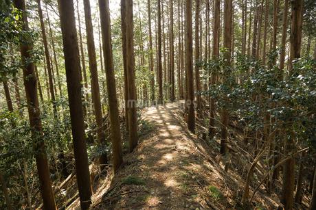 木漏れ日が差す杉林の山道の写真素材 [FYI04577936]