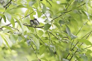 親鳥を待つシマエナガのヒナの写真素材 [FYI04578326]