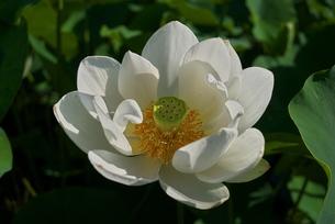 満開の白い蓮の接写の写真素材 [FYI04578450]