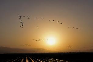 朝日とツルの群(鹿児島県・出水市)の写真素材 [FYI04579030]