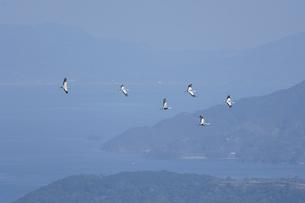 海を渡るマナヅルとクロヅル(鹿児島県・長島町)の写真素材 [FYI04579043]