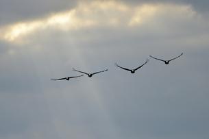 光芒とマナヅル(鹿児島県・出水市)の写真素材 [FYI04579051]