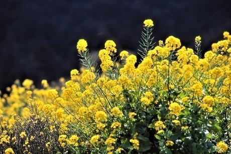 草原の春の柔らかな陽射しを受けた菜の花 黄色の花弁いっぱいに付け咲き誇るの写真素材 [FYI04579153]