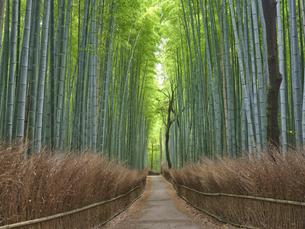 嵯峨野の竹林の写真素材 [FYI04579835]