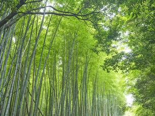 嵯峨野の竹林の写真素材 [FYI04579843]