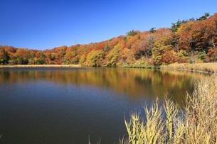 秋の八幡平 紅葉の大沼の写真素材 [FYI04580158]