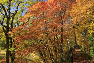 秋の八幡平 大沼遊歩道と紅葉の写真素材 [FYI04580174]