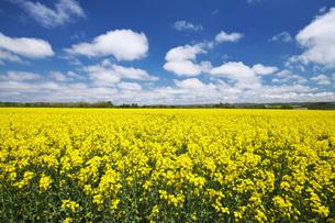 菜の花畑と雲の写真素材 [FYI04580290]