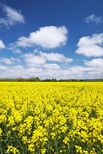 菜の花畑と雲の写真素材 [FYI04580291]