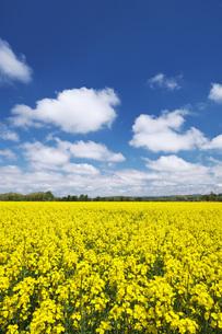 菜の花畑と雲の写真素材 [FYI04580292]