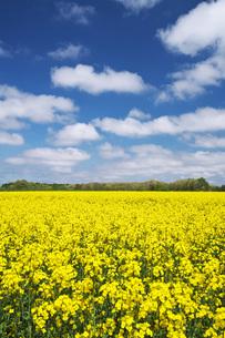 菜の花畑と雲の写真素材 [FYI04580293]