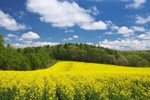 菜の花畑と雲の写真素材 [FYI04580294]
