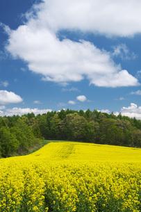 菜の花畑と雲の写真素材 [FYI04580295]