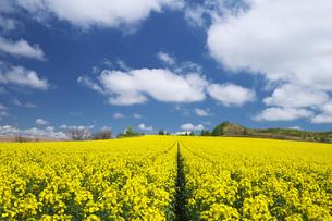 菜の花畑と雲の写真素材 [FYI04580296]