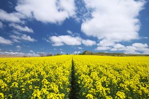 菜の花畑と雲の写真素材 [FYI04580297]