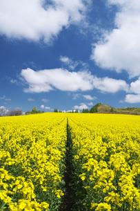 菜の花畑と雲の写真素材 [FYI04580298]