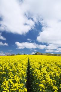 菜の花畑と雲の写真素材 [FYI04580299]