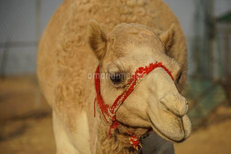 アラビア砂漠のラクダ(アラブ首長国連邦)の写真素材 [FYI04580427]