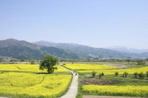 小沼の菜の花畑の写真素材 [FYI04580744]