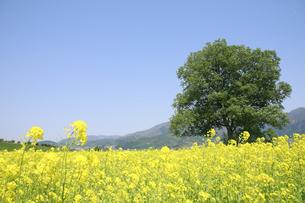小沼の菜の花畑の写真素材 [FYI04580751]