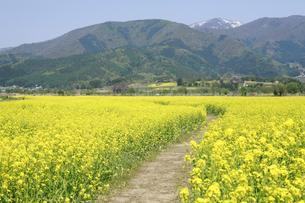 小沼の菜の花畑の写真素材 [FYI04580760]
