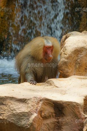 シンガポール動物園のマントヒヒのイメージの写真素材 [FYI04581145]