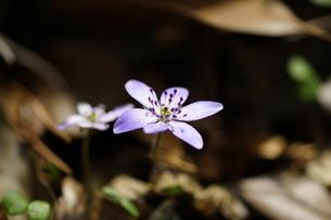 雪割草の写真素材 [FYI04581431]