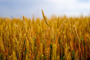 小麦畑の写真素材 [FYI04581474]