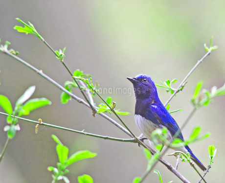 森の中の青い鳥の写真素材 [FYI04581514]