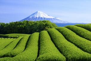 静岡県 茶畑と富士山の写真素材 [FYI04581543]