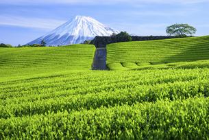 静岡県 茶畑越しの富士山の写真素材 [FYI04581546]