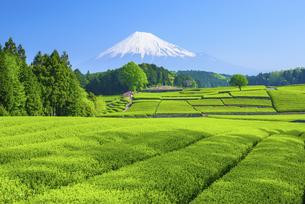静岡県 大淵笹場より茶畑と富士山の写真素材 [FYI04581550]