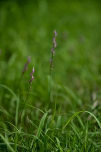 ねじり花の写真素材 [FYI04581571]