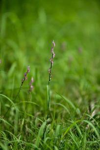 ねじり花の写真素材 [FYI04581573]