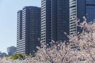 中之島ビル群と桜の写真素材 [FYI04581653]