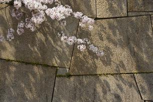 春の大阪城の石垣の写真素材 [FYI04581673]