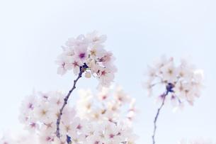 桜の写真素材 [FYI04581690]