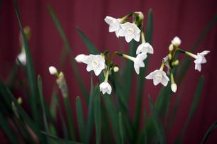 房咲き水仙の花の写真素材 [FYI04581769]