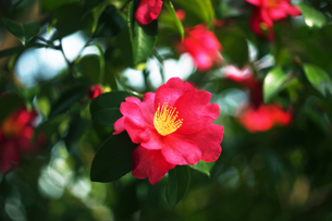 山茶花・紅赤色の花の写真素材 [FYI04581770]