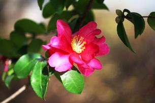 山茶花・紅赤色の花の写真素材 [FYI04581771]