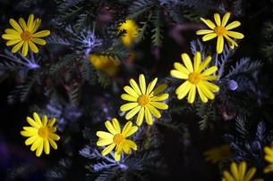 ユリオプスデージーの黄色い花の写真素材 [FYI04581786]