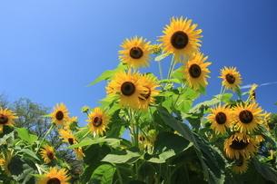 夏の花 向日葵の写真素材 [FYI04581811]