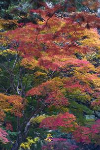 奈良公園のモミジの写真素材 [FYI04581827]