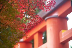 奈良公園のモミジの写真素材 [FYI04581839]