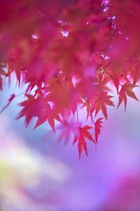 奈良公園のモミジの写真素材 [FYI04581843]