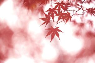 奈良公園のモミジの写真素材 [FYI04581845]