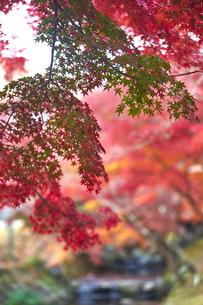 奈良公園のモミジの写真素材 [FYI04581849]